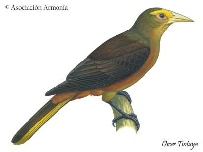 Russet-backed Oropendola (Psarocolius angustifrons)