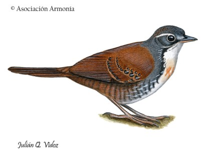 Rusty-belted Tapaculo (Liosceles thoracicus)