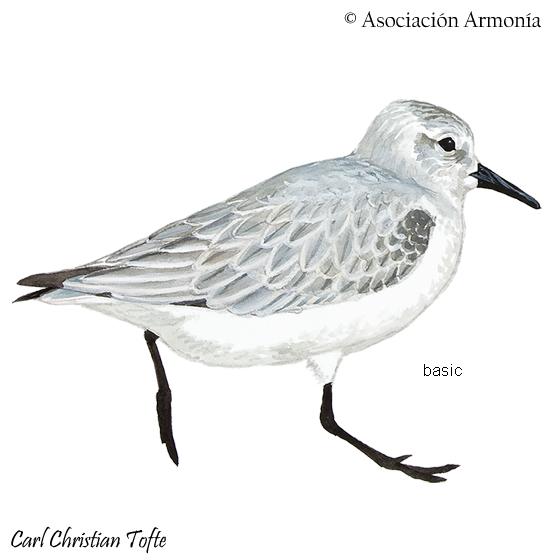Calidris alba