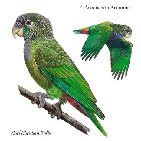 Scaly-headed Parrot (Pionus maximiliani)