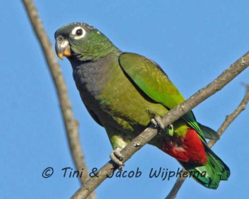 Scaly-headed Parrot (Pionus maximiliani). Copyright T&J Wijpkema.