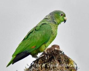 Scaly-naped Parrot (Amazona mercenarius). Copyright T&J Wijpkema.