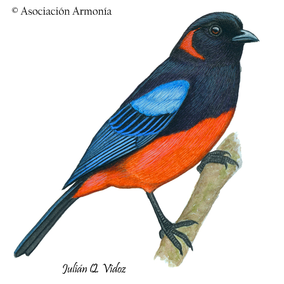 Scarlet-bellied Mountain Tanager (Anisognathus igniventris)