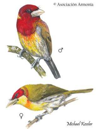 Scarlet-hooded Barbet (Eubucco tucinkae)