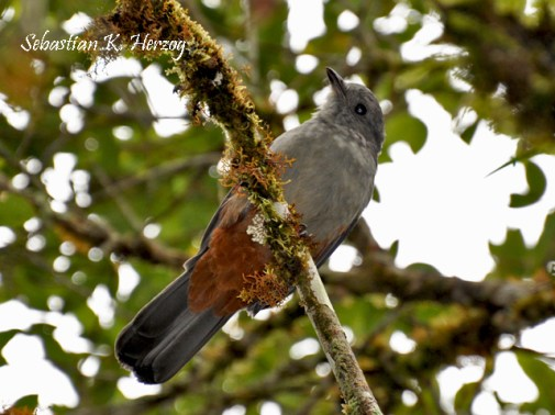 Scimitar-winged Piha (Lipaugus uropygialis). Copyright SK Herzog.