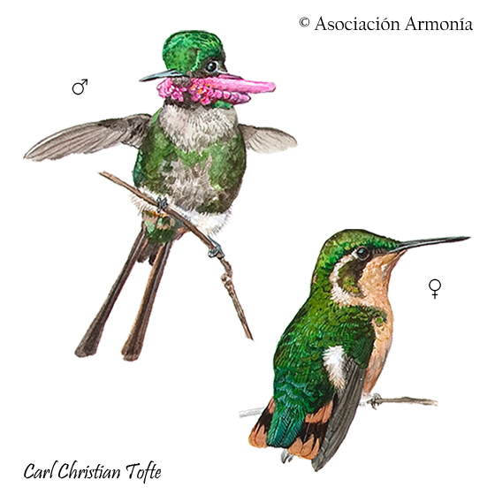 Slender-tailed Woodstar (Microstilbon burmeisteri)
