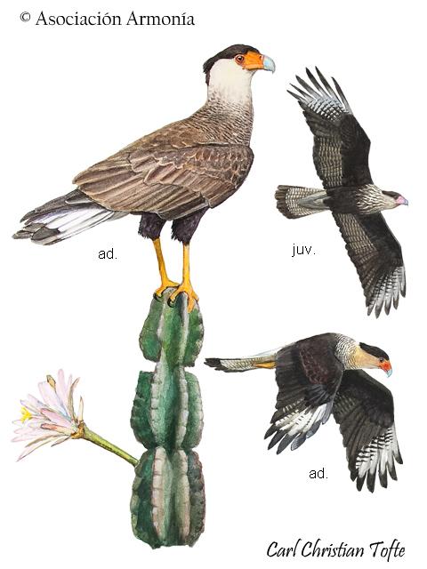 Southern Caracara (Caracara plancus)