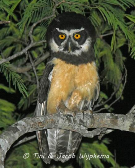 Spectacled Owl (Pulsatrix perspicillata). Copyright T&J Wijpkema.