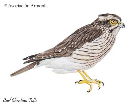Spot-winged Falconet (Spiziapteryx circumcincta).