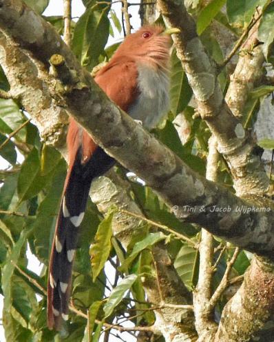 Squirrel Cuckoo (Piaya cayana). Copyright T&J Wijpkema.