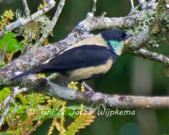 Green-throated Tanager (Stilpnia argyrofenges). Copyright T&J Wijpkema.
