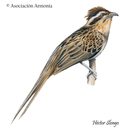 Striped Cuckoo (Tapera naevia).