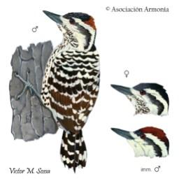 Striped Woodpecker (Veniliornis lignarius).