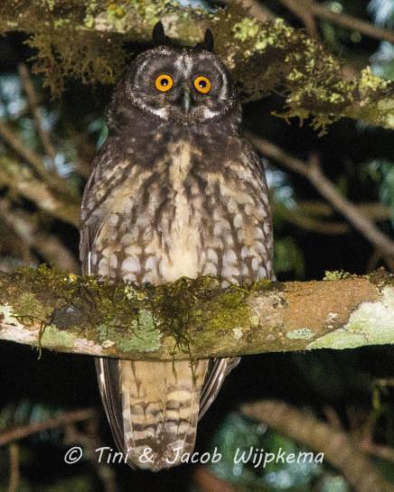 Stygian Owl (Asio stygius). Copyright T&J Wijpkema.