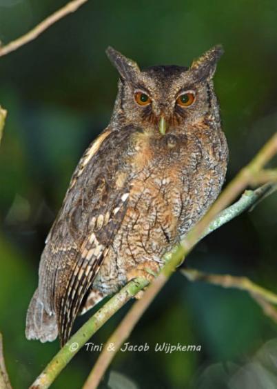 Tawny-bellied Screech-Owl (Megascops watsonii). Copyright T&J Wijpkema.