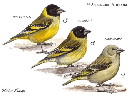 Thick-billed Siskin (Spinus crassirostris)