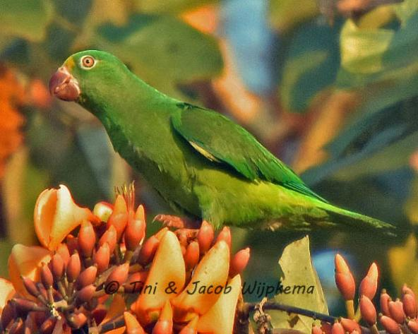 Tui Parakeet (Brotogeris sanctithomae). Copyright T&J Wijpkema.