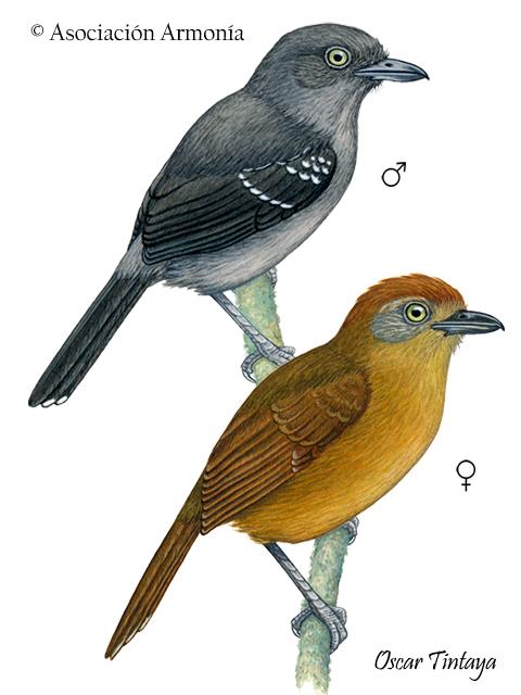 Upland Antshrike (Thamnophilus aroyae)