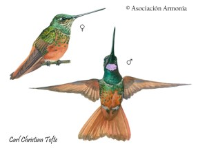Violet-throated Starfrontlet (Coeligena violifer)