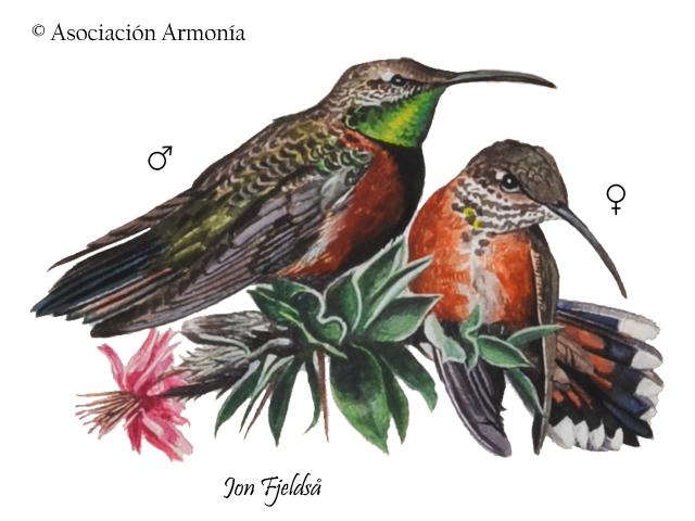Wedge-tailed Hillstar (Oreotrochilus adela)
