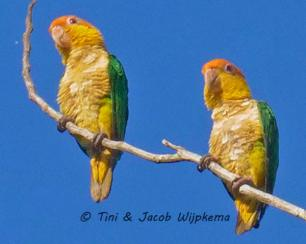 White-bellied Parrot (Pionites leucogaster). Copyright T&J Wijpkema.