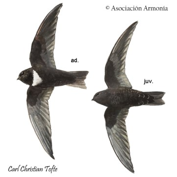 White-chested Swift (Cypseloides lemosi)