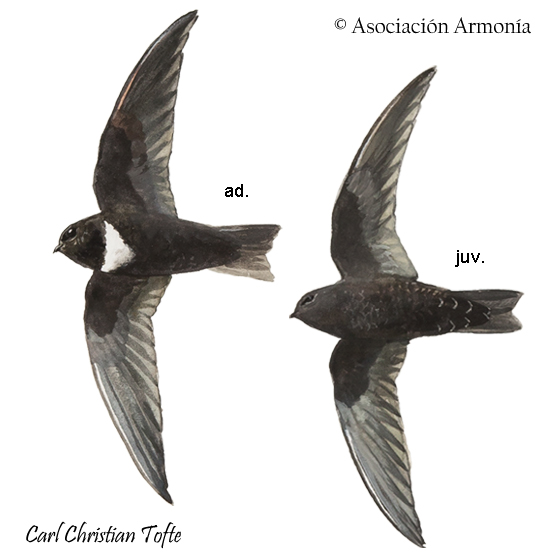 White-chested Swift (Cypseloides lemosi)
