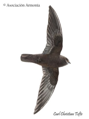 White-chinned Swift (Cypseloides cryptus)