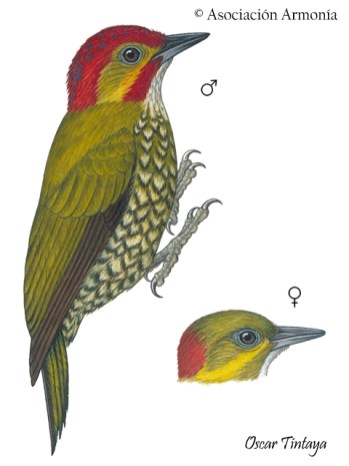 White-throated Woodpecker (Piculus leucolaemus)