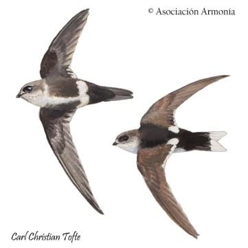White-tipped Swift (Aeronautes montivagus)
