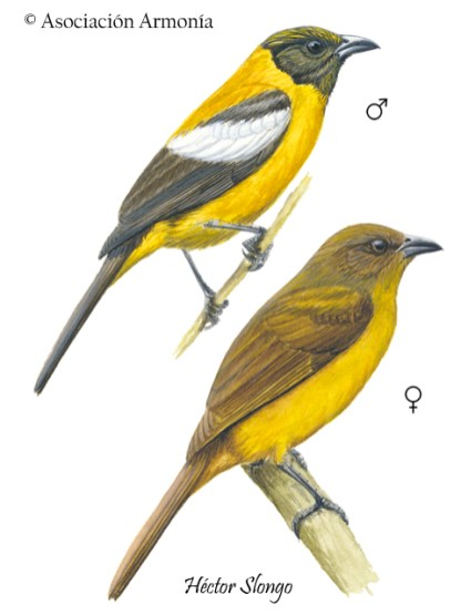 White-winged Shrike-Tanager (Lanio versicolor)