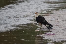 Yelllow-headed Caracara (Milvago chimachima) Copyright S Vargas