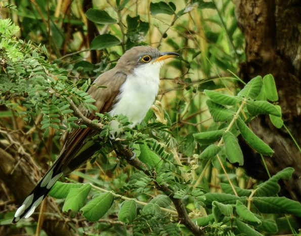 Yellow-billed Cuckoo (Coccyzus americanus). Copyright JL Martinez.