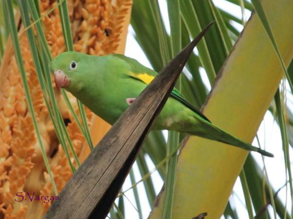 Yellow-chevroned Parakeet (Brotogeris chiriri). Copyright S Vargas.