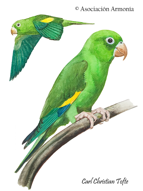 Yellow-chevroned Parakeet (Brotogeris chiriri)