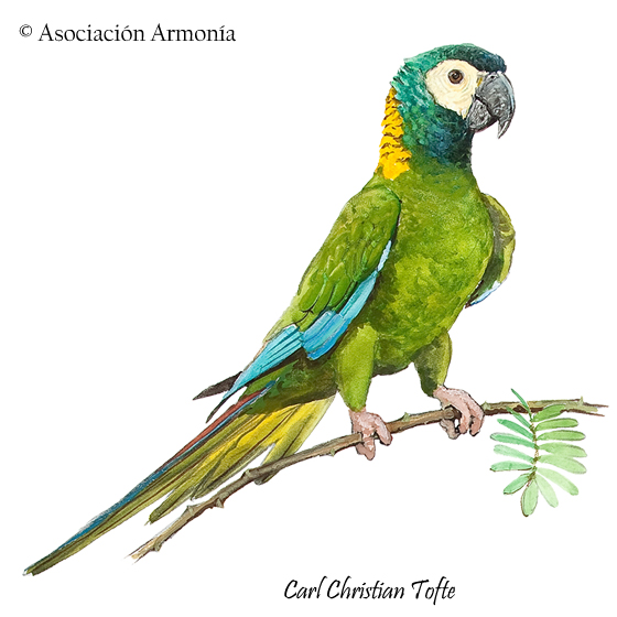 Yellow-collared Macaw (Primolius auricollis)