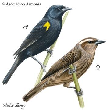 Yellow-winged Blackbird (Agelasticus thilius)