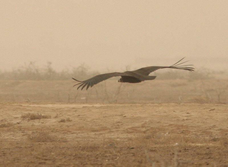 black_vulture7122.jpg