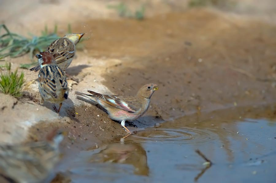 Mongolian Trumpeter Finch