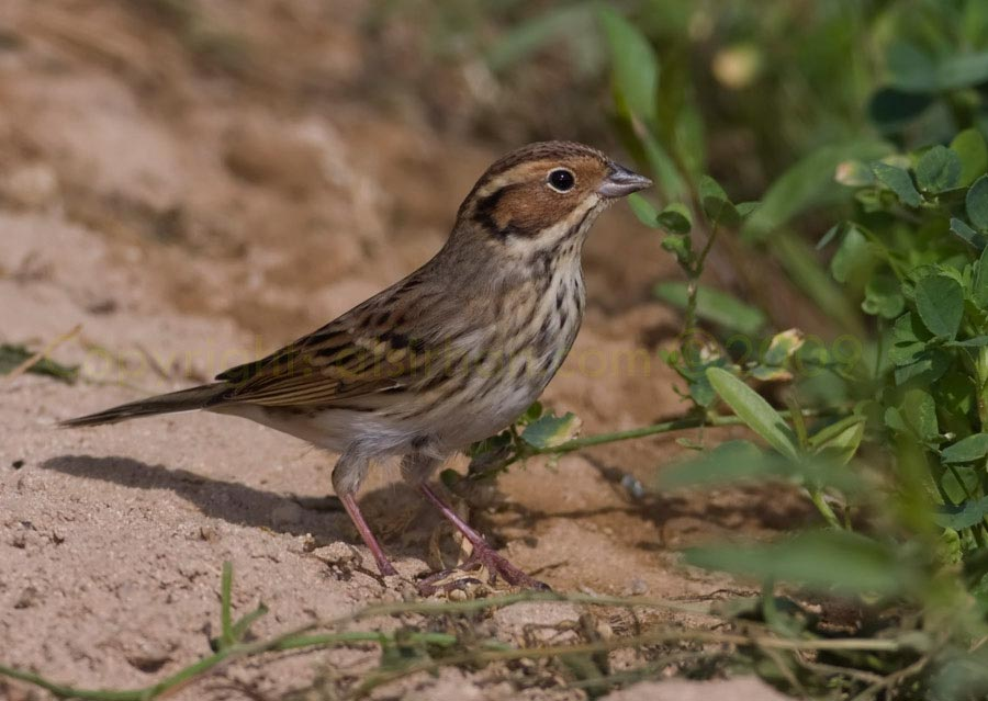 Little_Bunting_MG_8604.jpg