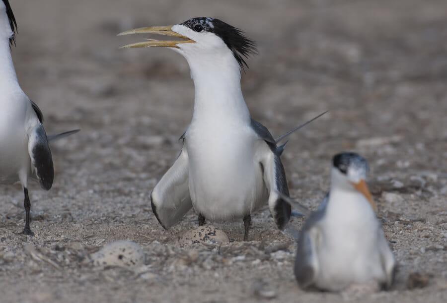Swift Tern Sterna bergii