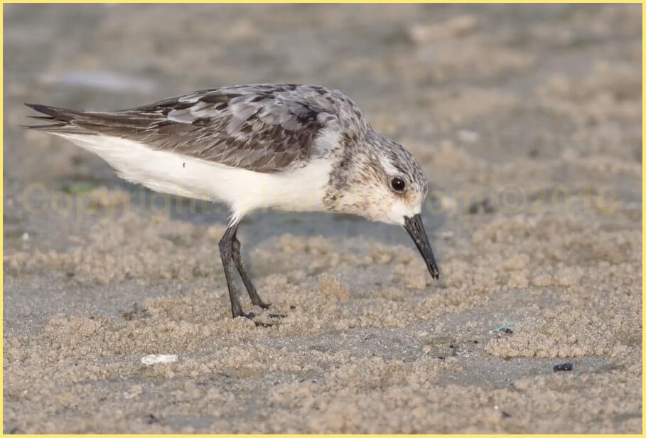 Sanderling Calidris alba