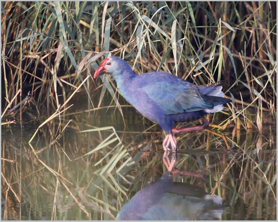 Purple Swamphen Porphyrio porphyrio