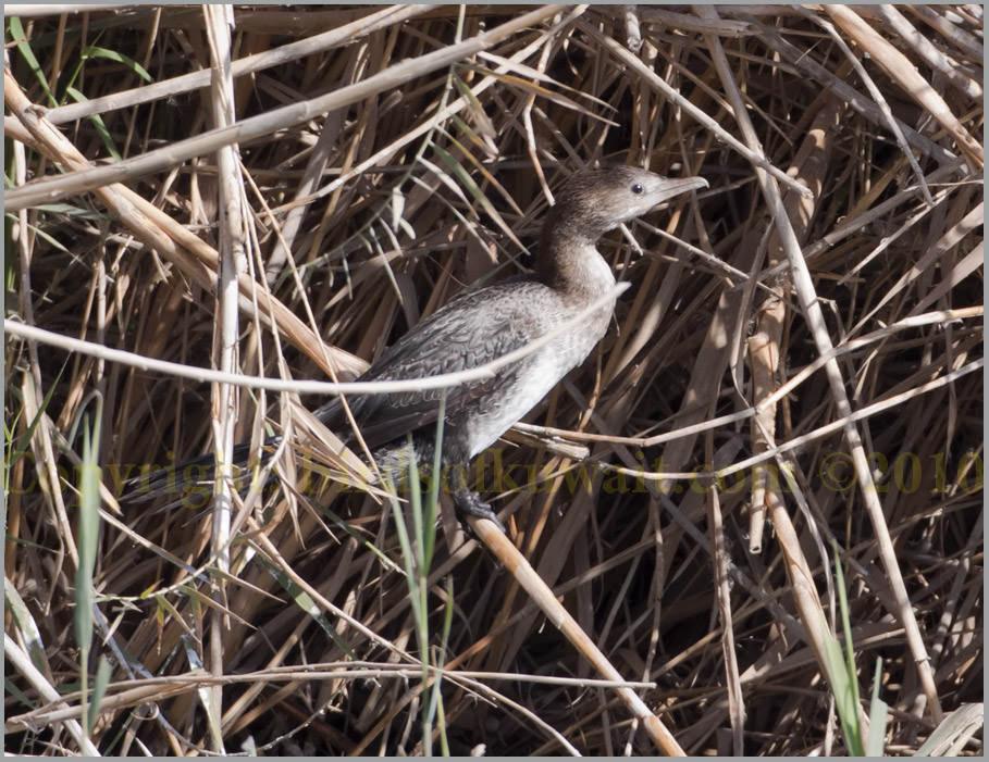 Pygmy Cormorant Phalacrocorax pygmeus