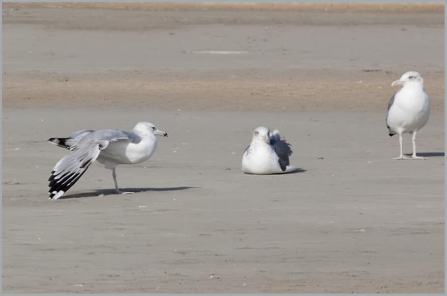 Caspian Gull Larus cachinnans 3rd winter