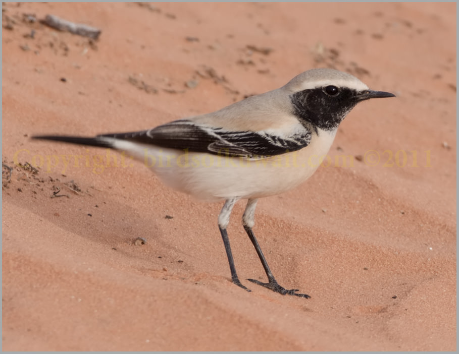 Desert Wheatear Oenanthe deserti