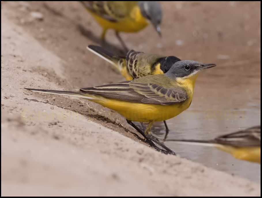 Grey-headed Wagtail Motacilla (flava) thunbergi