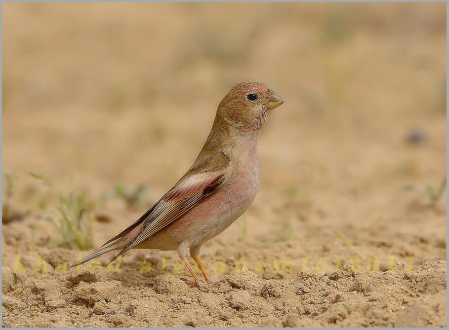 Mongolian Finch Bucanetes mongolicus