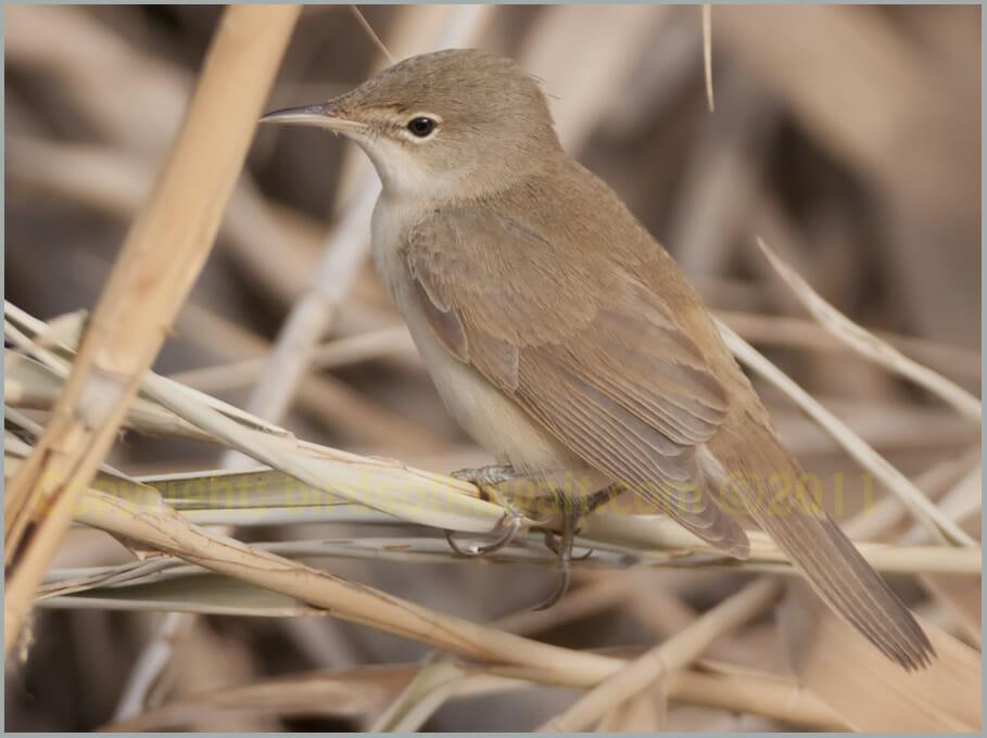 Caspian Reed Warbler Acrocephalus (scirpaceus) fuscus