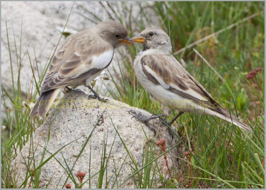White-winged Snowfinch Montifringilla nivalis